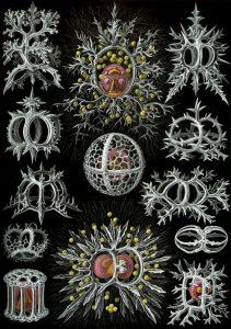 Ernst Haeckel, Kunstformen der Natur (1904), plate 71: Stephoidea